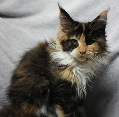 Siegerländer Amerikanische Waldkatzen Kitten
