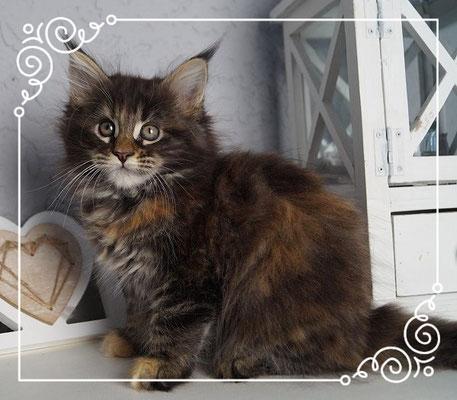 Maine Coon Kitten Tara