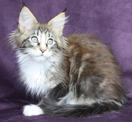 Sharin 12black tabby white Katze weiblich