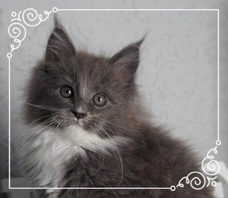 Maine Coon Kitten Keano