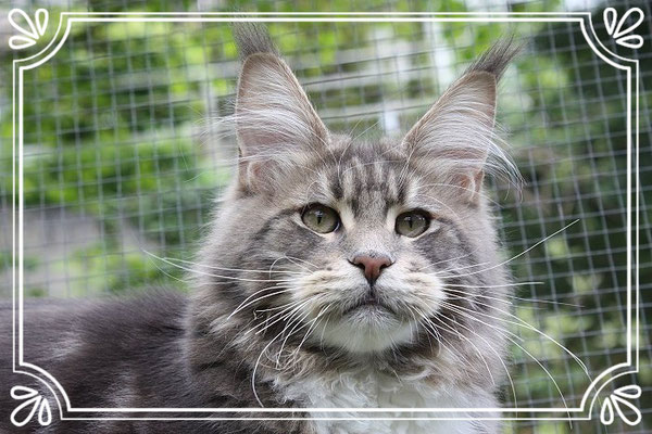 Maine Coon Kater Relexing Tigers Ice 7 Monate