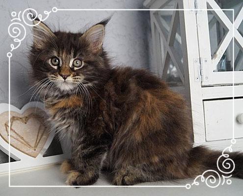 Maine Coon Kitten Rheinland Pfalz