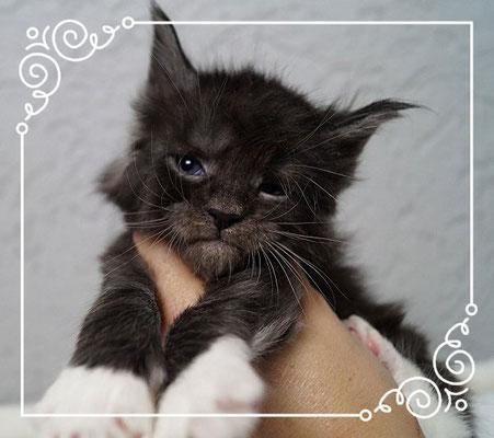 Maine Coon Kitten black smoke