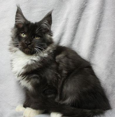 Maine Coon Kitten Checker 15 Wochen