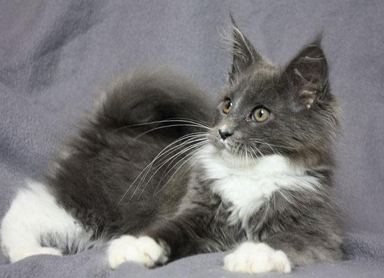 Maine Coon Kitten Keano 16 Wochen