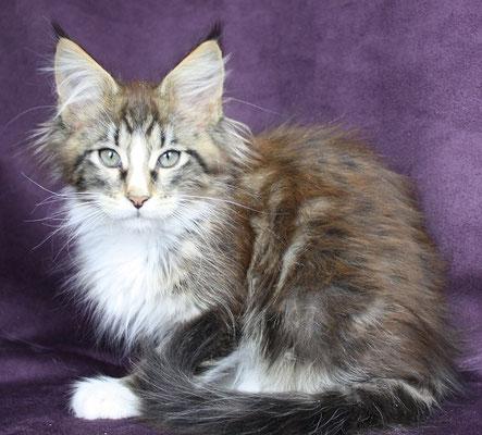 Sharin 12 black tabby white Katze weiblich