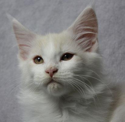 Maine Coon Kitten Iceman 15 Wochen