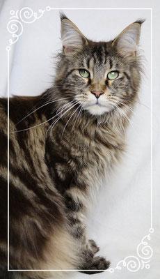 Maine Coon Katze Lysa 3 Jahre