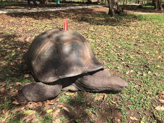 Mauritius, LaVanille Nature Park. Schildkröten zum Anfassen und Dömchen draufstellen (Stevie & Angie)