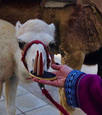 Tunesien, Zarzis. Man munkelt, dieses Kamel hieße Jesus... Das Foto ist am 25. Dezember entstanden. Passt! (Ilona)