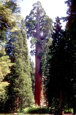 General Lee Tree, Kings Canyon/Sequoia NP, CA (1984)