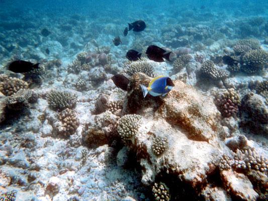 Traumhafte Korallenriffe auf den Malediven - aufgenommen (DIA) mit einer Minolta SLR im Unterwasserbeutel.