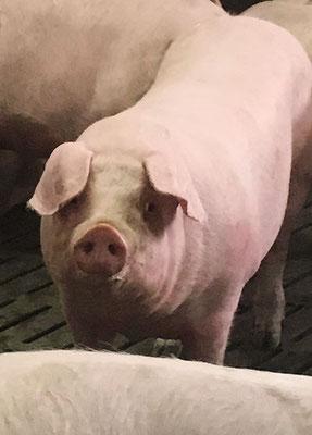 Un cochon dans sa case, avec ses copains