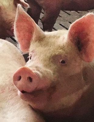 Une belle tête de cochon !