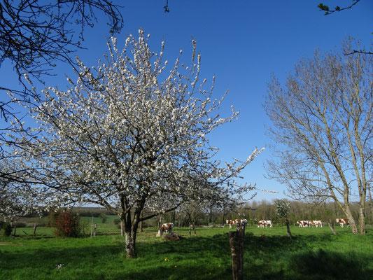 Cerisier du jardin en fleur et génisses