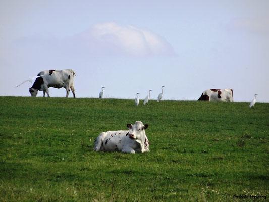 Grandes aigrettes au milieu des vaches