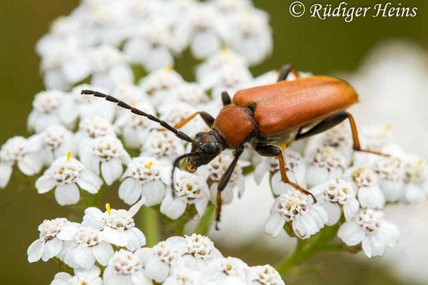 Stictoleptura rubra (Rothalsbock) Weibchen, 18.7.2019