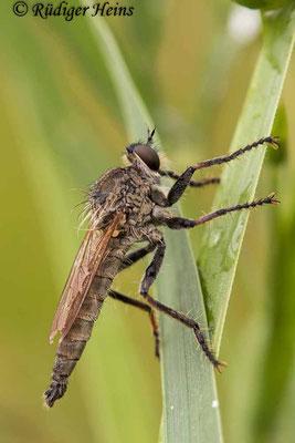 Neoepitriptus arthriticus (Seiden-Raubfliege) Männchen, 9.7.2021