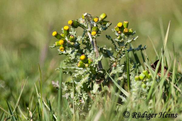 Senecio vulgaris (Gewöhnliches Greiskraut), 7.4.2020