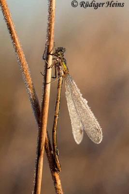 Lestes virens (Kleine Binsenjungfer) Weibchen, 3. November 2016 8:44 Uhr
