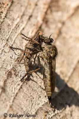 Tolmerus atricapillus (Gemeine Raubfliege) Weibchen mit Beute, 2.9.2020