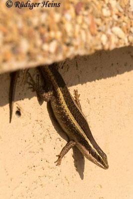 Trachylepis striata (Afrikanischer gestreifter Skink), 29.1.2019