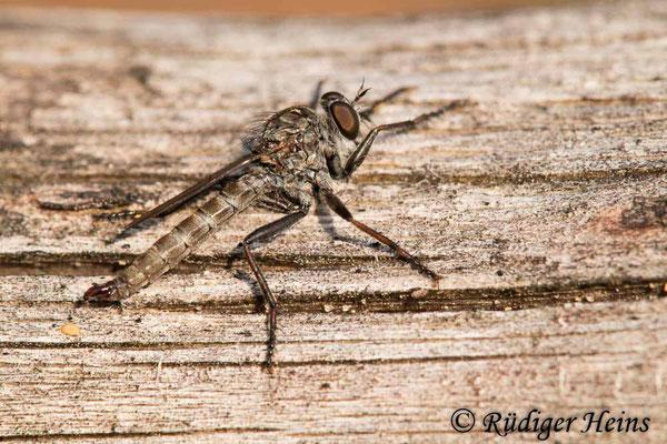 Tolmerus pyragra (Kleine Raubfliege) Männchen, 11.9.2020