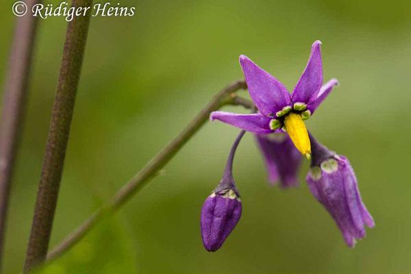 Solanum dulcamara (Bittersüßer Nachtschatten), 10.6.2017