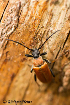 Stictoleptura rubra (Rothalsbock) Weibchen, 4.7.2020