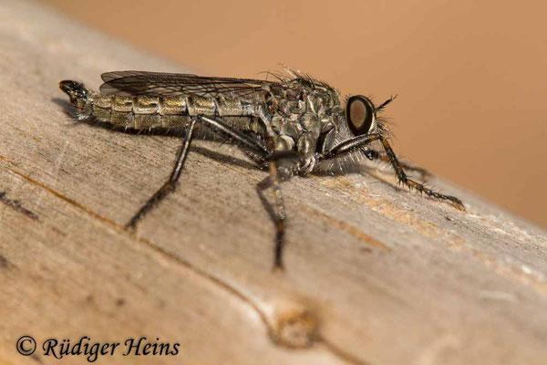 Tolmerus atricapillus (Gemeine Raubfliege) Männchen, 5.7.2020