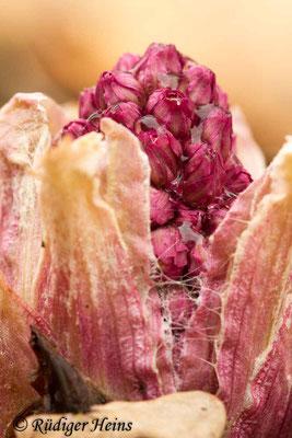 Petasites hybridus (Gewöhnliche Pestwurz), 13.4.2013