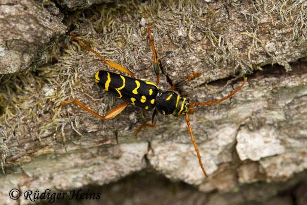 Plagionotus arcuatus (Eichenwidderbock), 31.5.2019