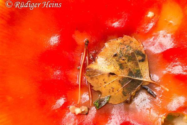 Amanita muscaria (Fliegenpilz), 17.10.2019