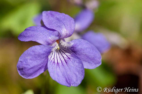 Viola riviniana (Hain-Veilchen), 14.4.2007