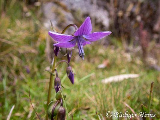 Gentianella rapunculoides, 14.2.2020