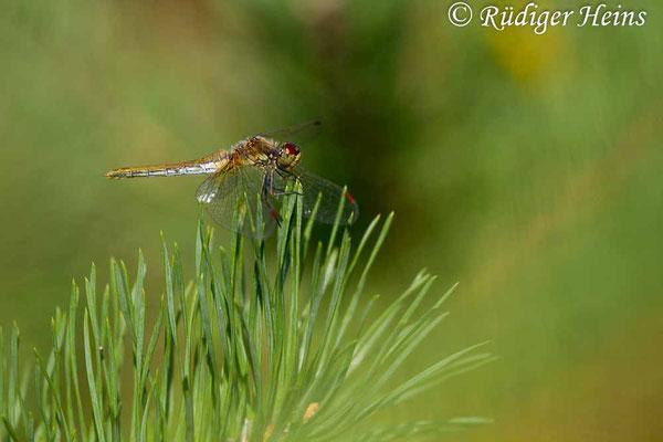 Sympetrum flaveolum (Gefleckte Heidelibelle) Weibchen, 16.8.2018