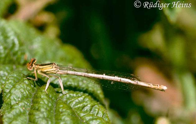 Platycnemis latipes (Weiße Federlibelle) Weibchen, 13.6.1991 (Scan vom Dia)