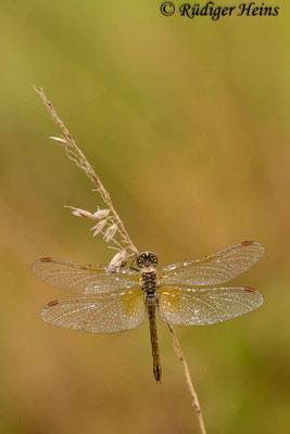 Sympetrum flaveolum (Gefleckte Heidelibelle) Weibchen, 13.9.2015
