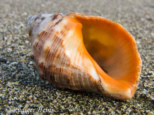 Buccinum undatum (Wellhornschnecke), 11.7.2011