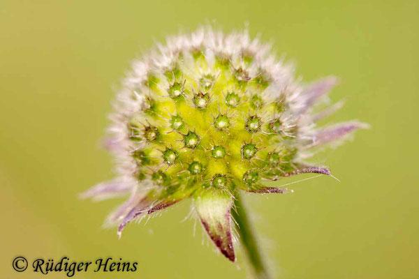 Knautia arvensis (Acker-Witwenblume), 4.9.2011