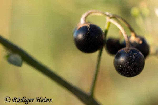 Solanum nigrum (Schwarzer Nachtschatten), 28.10.2018