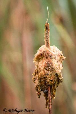 Typha latifolia (Breitblättriger Rohrkolben), 10.9.2020