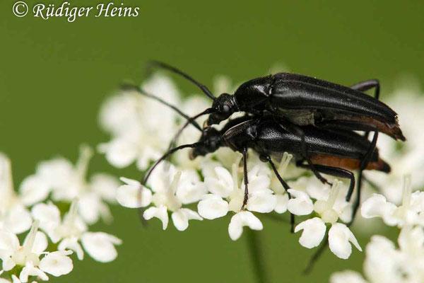 Stenurella nigra (Schwarzer Schmalbock) Paarung, 7.6.2020
