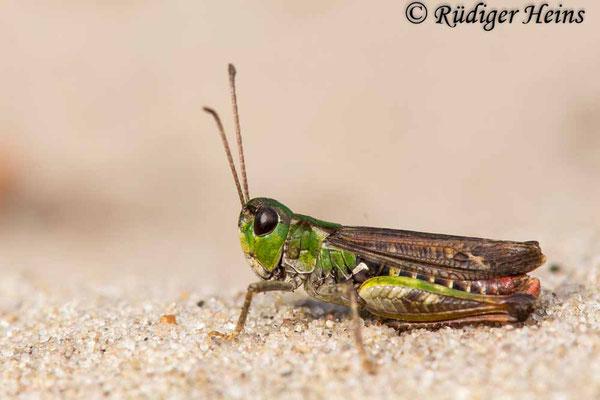Myrmeleotettix maculatus (Gefleckte Keulenschrecke) Männchen, 12.10.2017