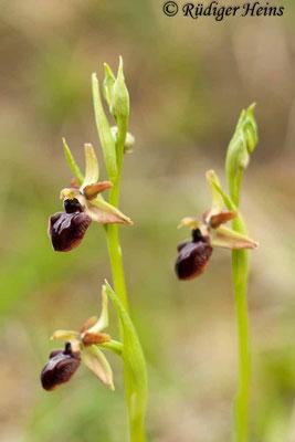 Ophrys sphegodes (Spinnen-Ragwurz), 3.5.2015