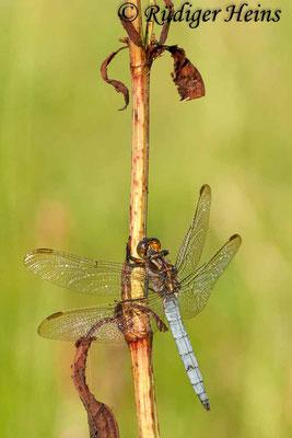 Orthetrum coerulescens (Kleiner Blaupfeil) Männchen, 7.7.2009