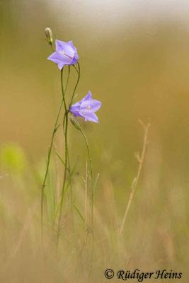 Campanula rotundifolia (Rundblättrige Glockenblume), 25.8.2020
