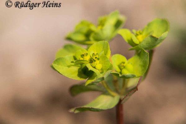 Euphorbia helioscopia (Sonnwend-Wolfsmilch), 28.4.2020