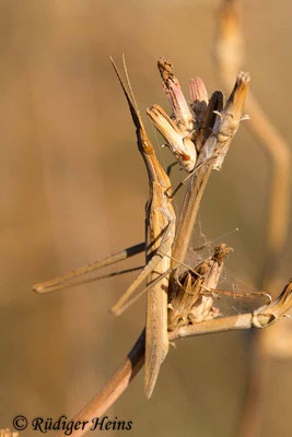 Acrida ungarica (Gewöhnliche Nasenschrecke) Weibchen, 5.10.2017
