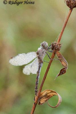 Sympetrum striolatum (Große Heidelibelle) Weibchen taubedeckt, 1.11.2015